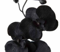 black orchid1